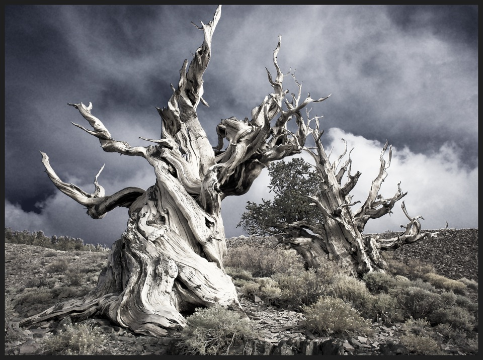 Life and Death in Ancient Bristlecone Pine Forest, California II