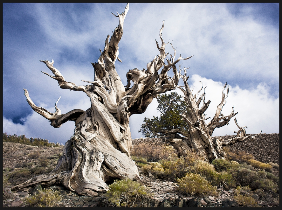 Life and Death in the Ancient Bristlecone Pine Forest, California