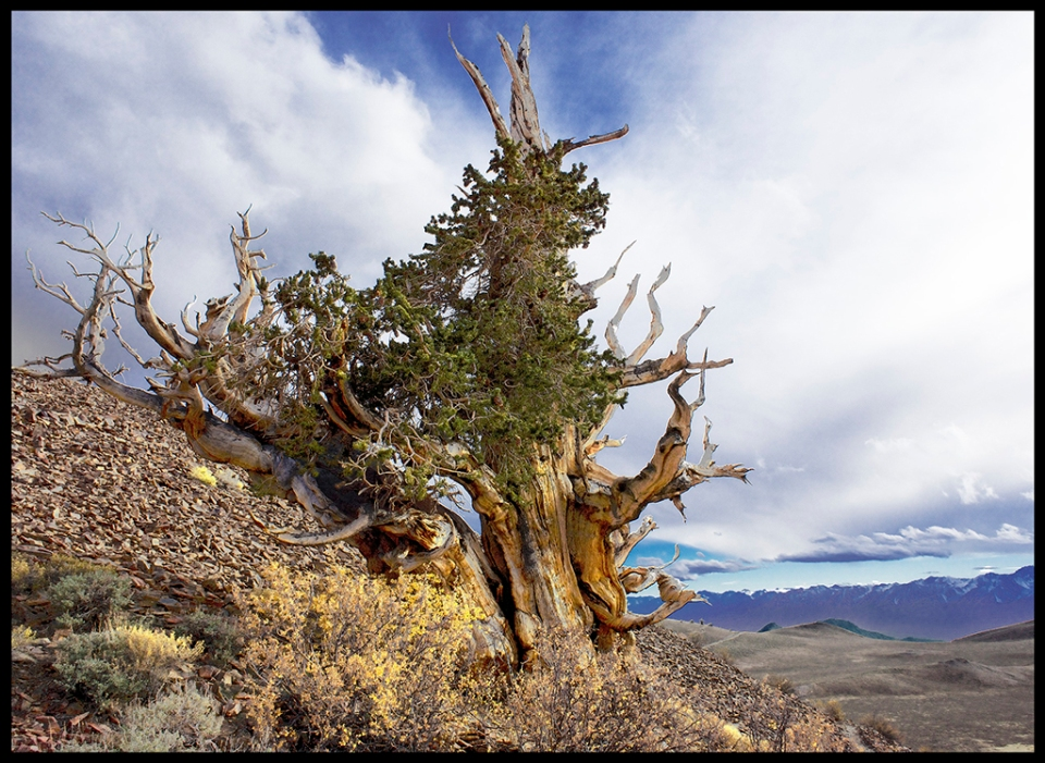 Portrait of an Ancient Bristlecone Pine Tree, White Mountains, California