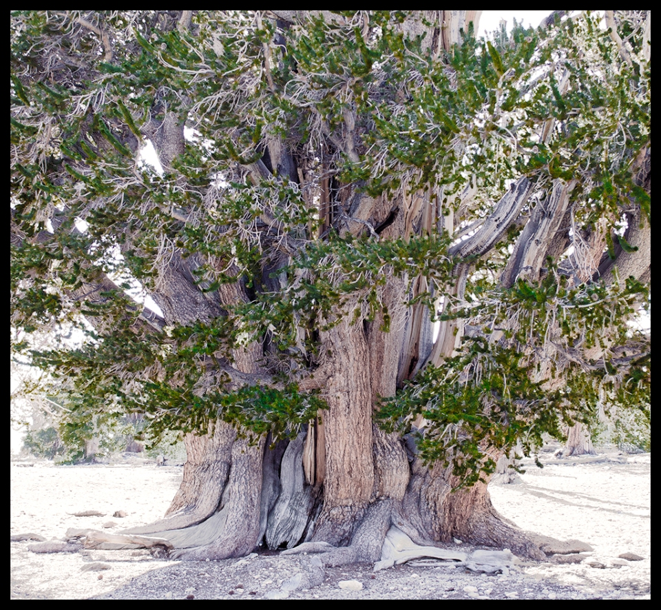 Enduring and Evergreen, The Ancient Bristlecone Pine Tree