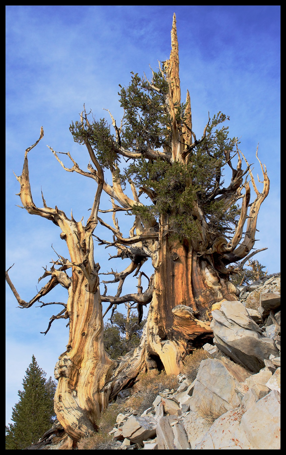 Bristlecone Pine Tree Pearched Atop the White Mountains, California